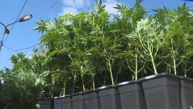 "Над 1000 стръка марихуана са открити в бившия завод ""Кристал"""