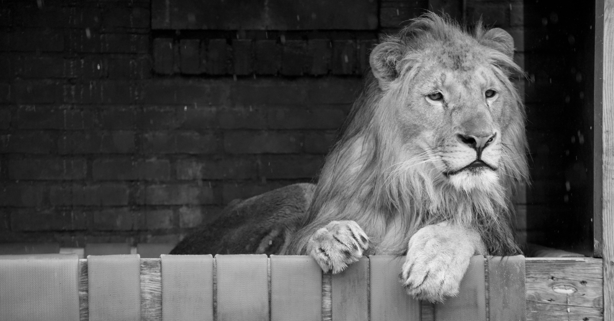 Лъвът Терез, който бе изпратен в спасителен център за големи