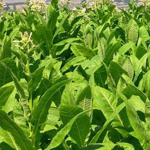 Напълно приключи разсаждането на тютюн реколта 2021 и при четирите
