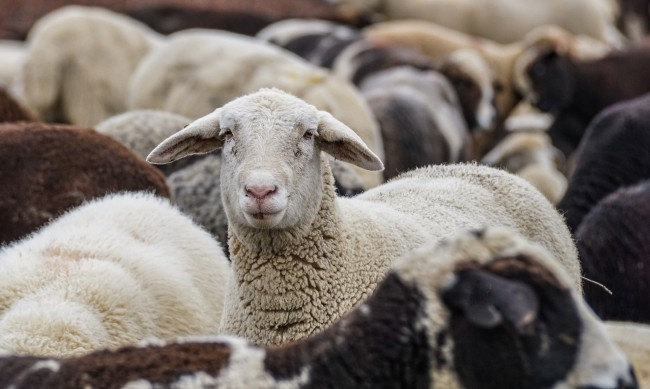 Говедовъдите и овцевъдите ще получат допълнителни 2 млн. лева. Това